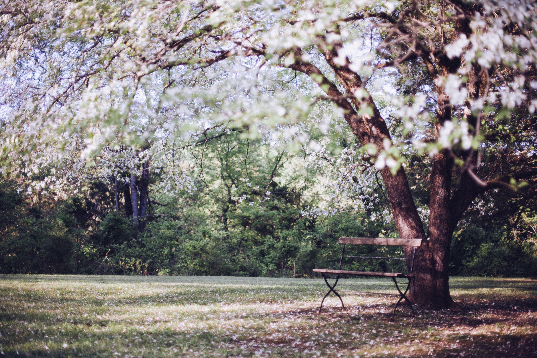 public-domain-images-free-stock-photos-tree-blossoms-bench-1 | Cleveland Professional Photography